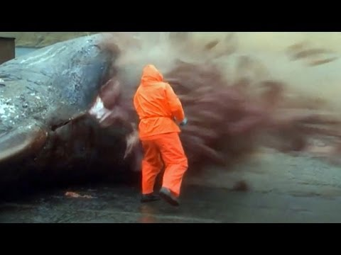 Sperm Whale Explodes (GROSS)