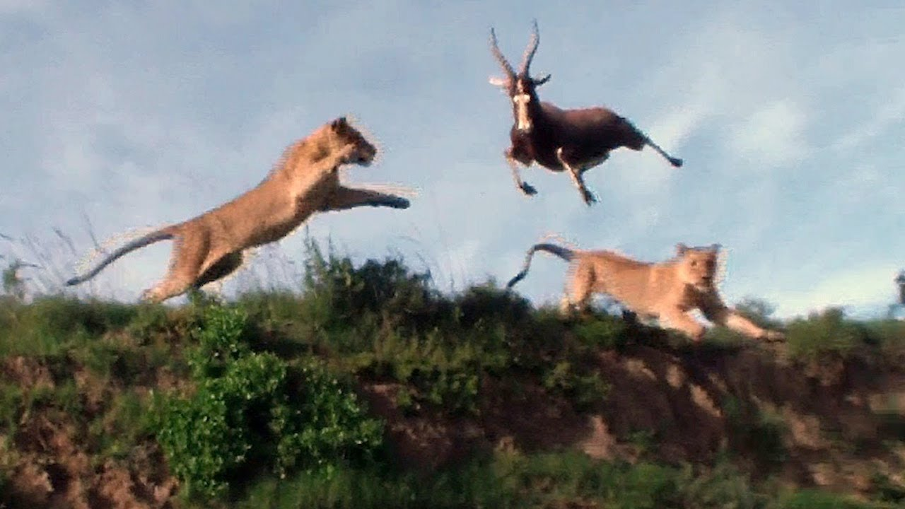 Lion Catches Antelope Mid Air